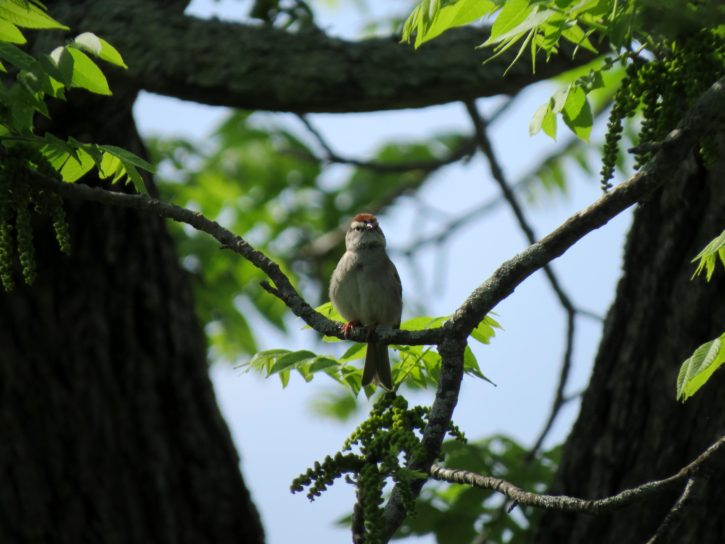 bird, close, view, Chipping, sparrow