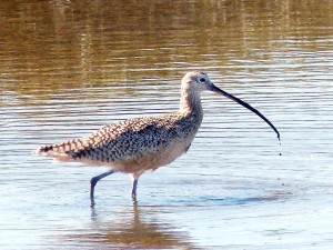 bird, Long, billed, curlew
