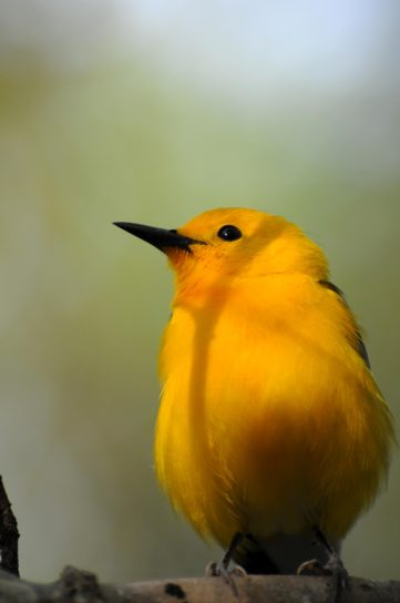 bird, Prothonotary, warbler
