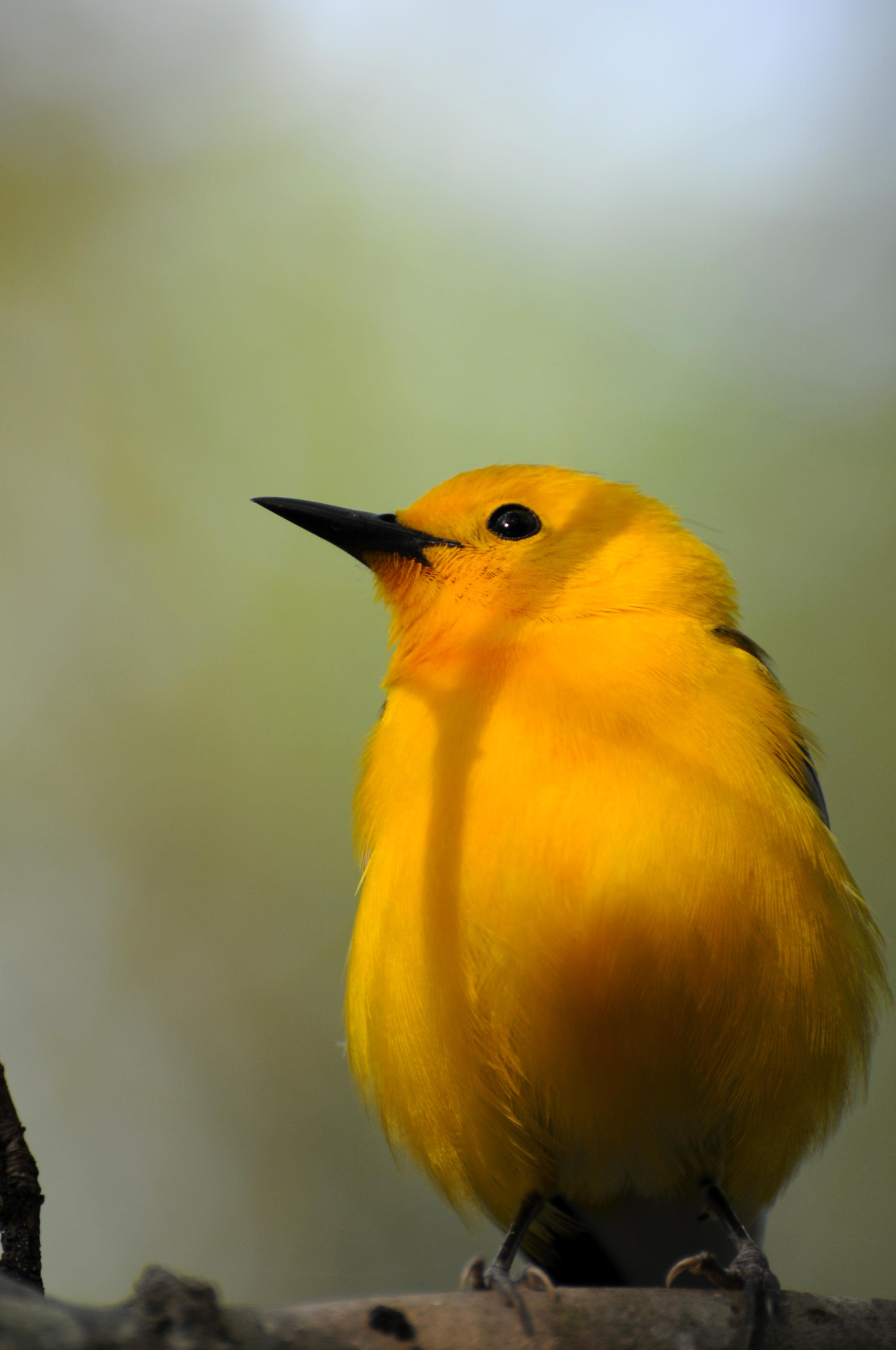 Free photograph; bird, Prothonotary, warbler