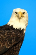 bird, raptor, up-close, bald, eagle