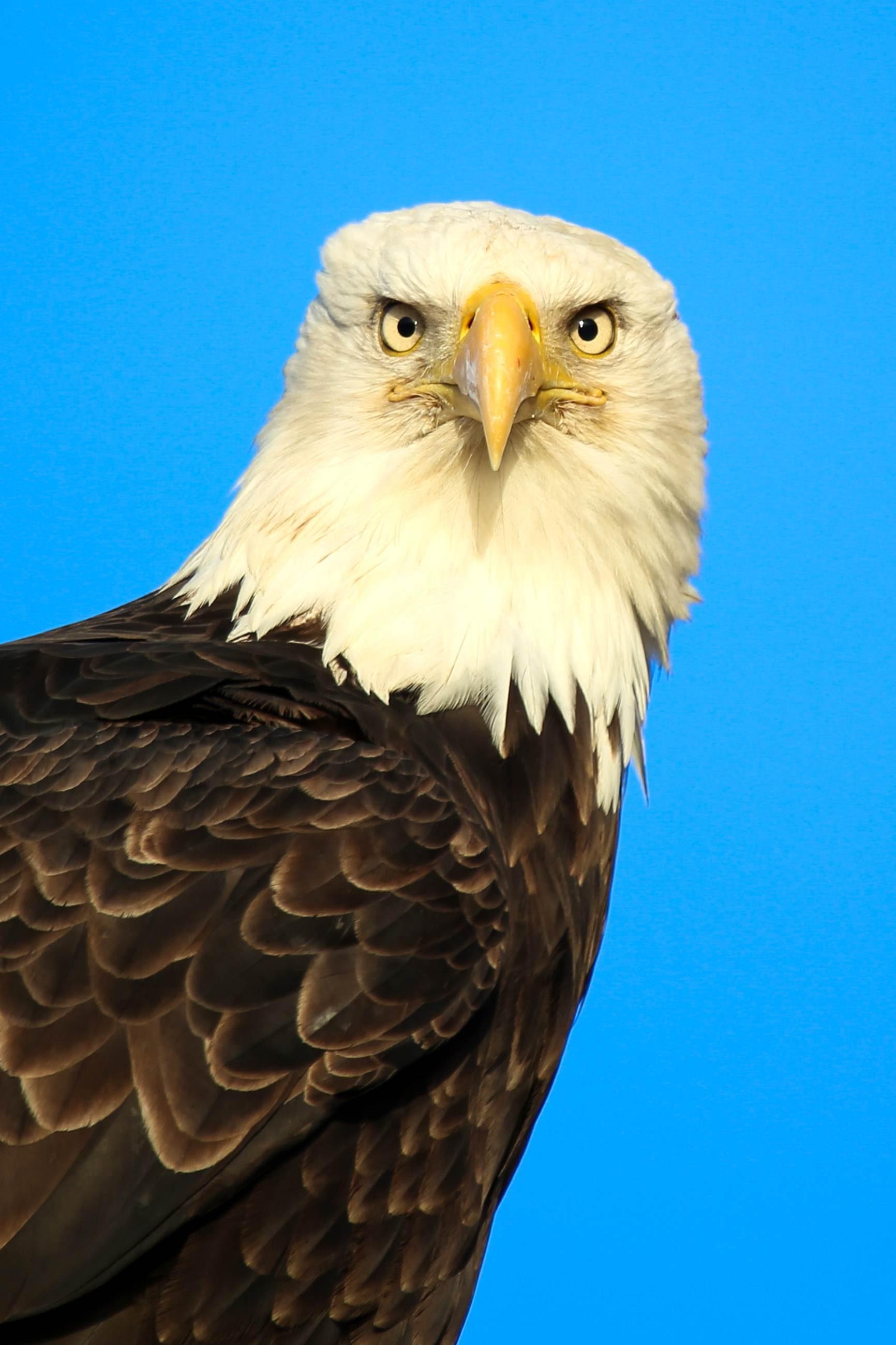 Free photograph; bird, raptor, close, view, bald, eagle