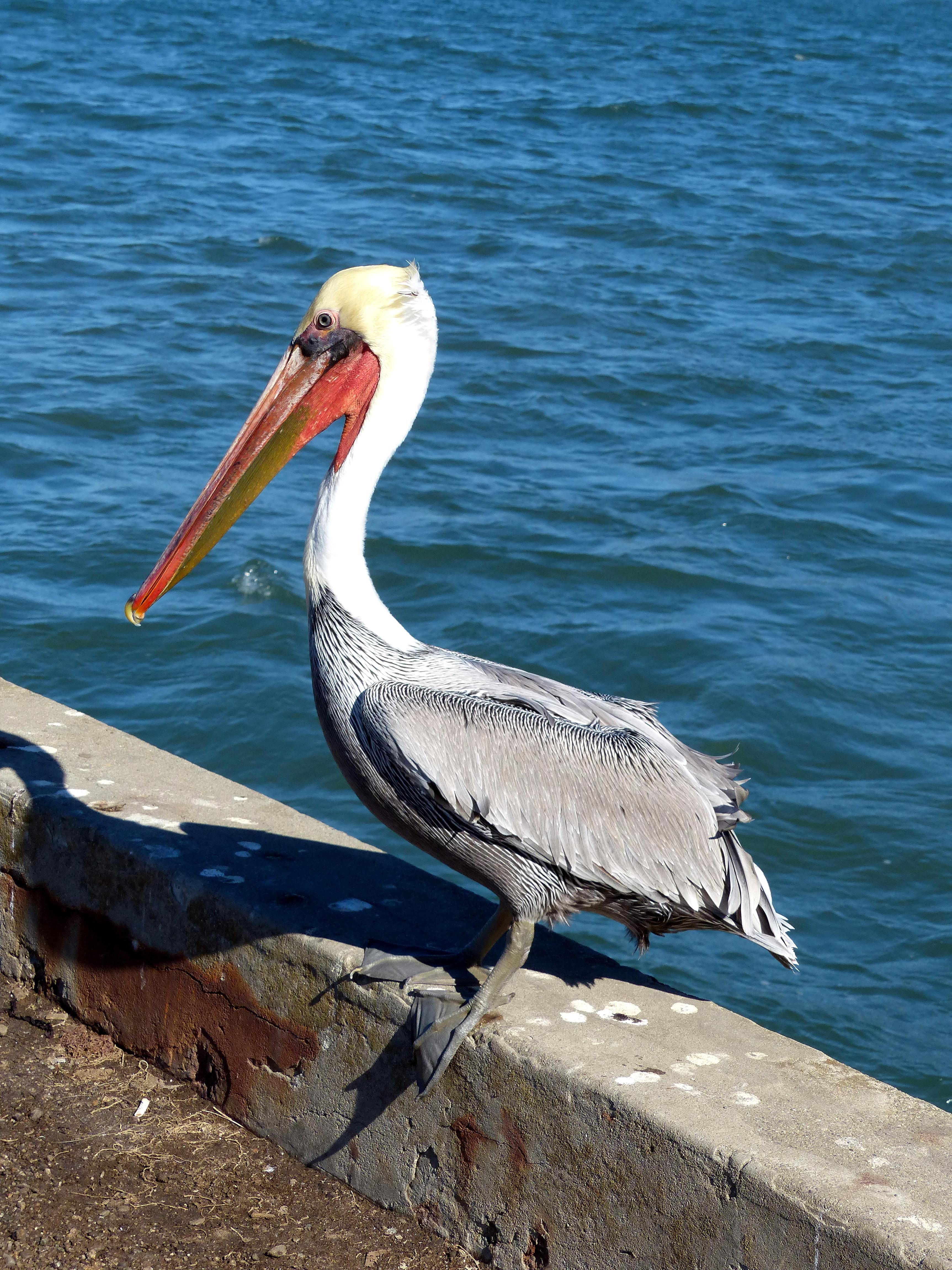 Free photograph; bird, watching, brown, pelican