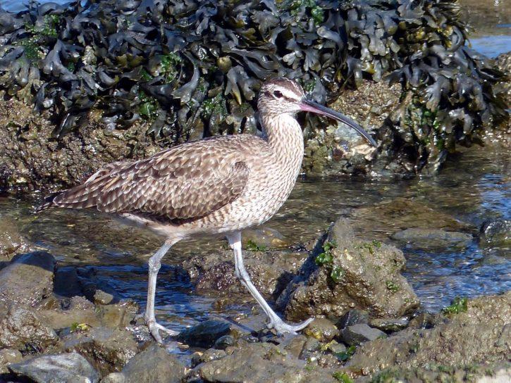 bird, whimbrel, shore, rocks
