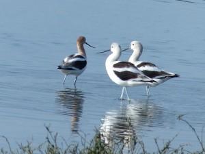 birds, shorebirds, wild, American, avocets