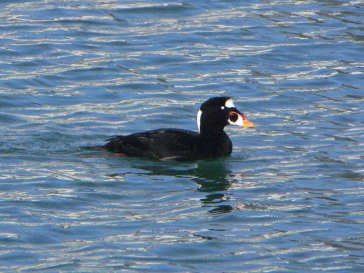 black, white, seaduck, common, bird, watefowl