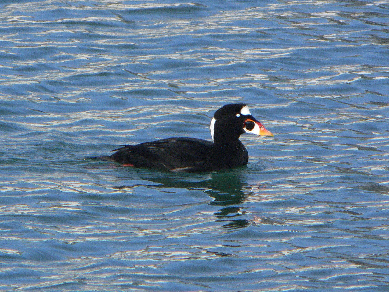 Free photograph; black, white, seaduck, common, bird, watefowl