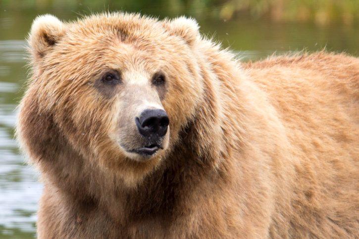 brown, bear, close, head, animal, mammal
