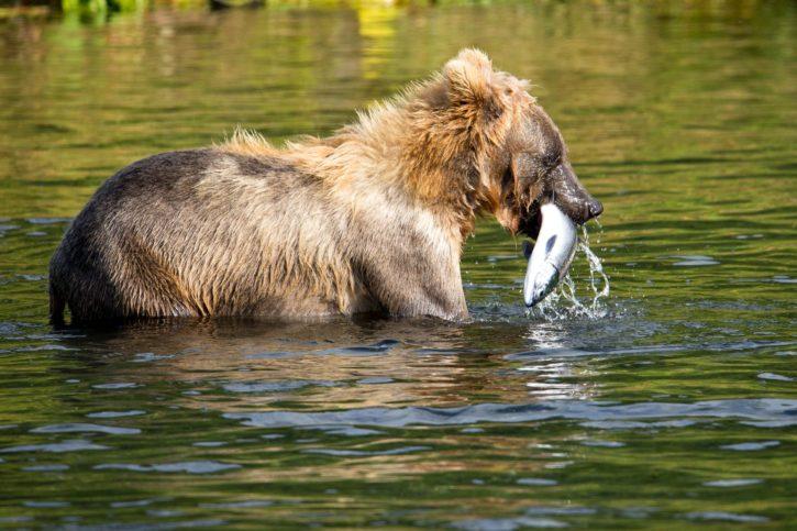 brown, bear, fish, hunting, fushing, animal