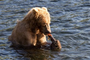 brown bear, sitt, water, eat, fish