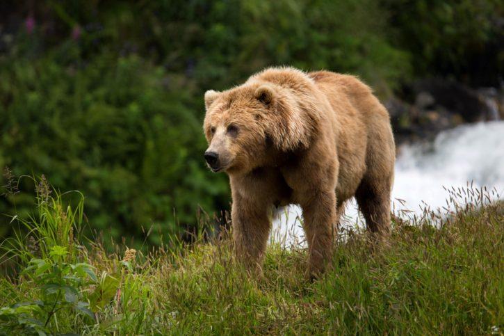 medvěd hnědý, zasít