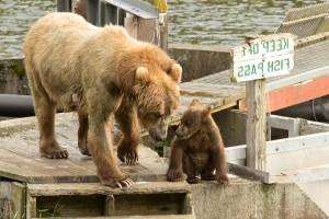 brown bear, sow, cub