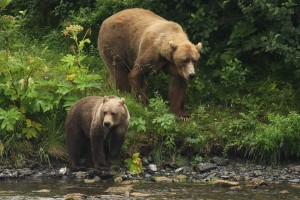 brown bear, sow, cub, look, river