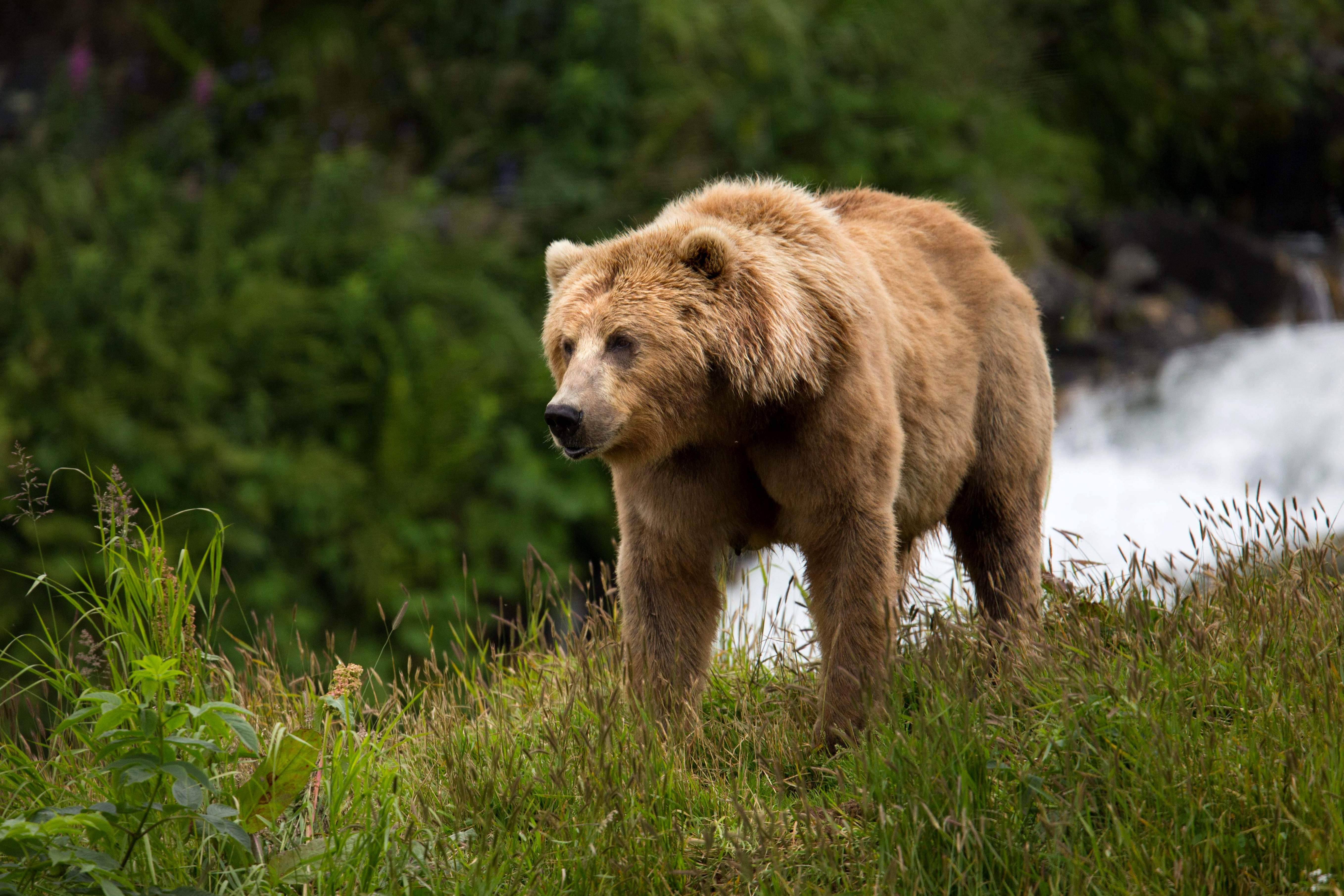 Free photograph; brown, bear, sow