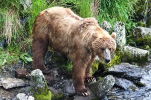 brown bear, watching, fish