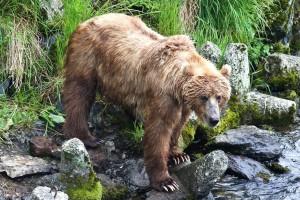 smeđi medvjed, gledanje, ribe