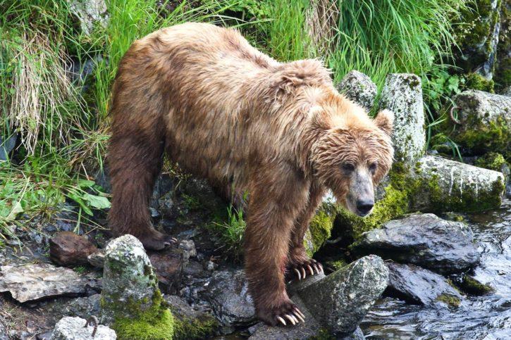 brown, bear, watching, fish