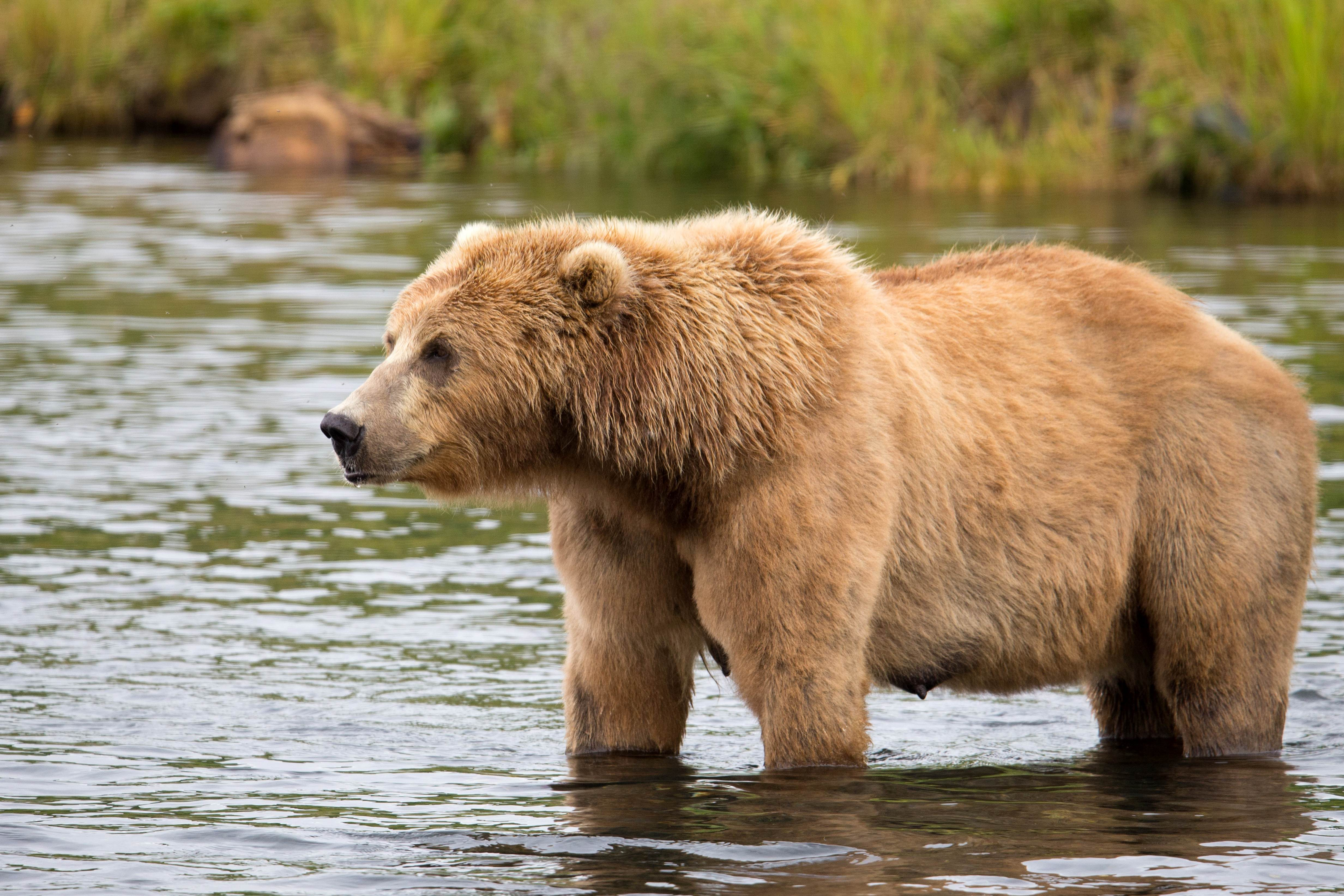 Free photograph; brown, bear, water, hunt