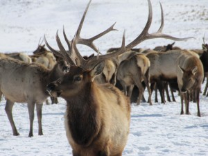 bull, elk, sports, beautiful, set, antlers