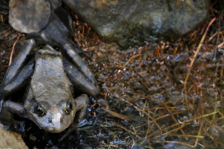 california, red, legged, frog, amphibian, animal