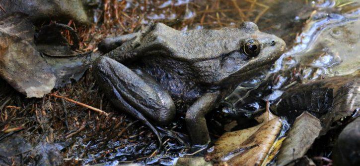 california, red, legged, frog, amphibian, reptile