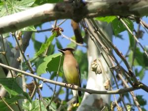 삼나무, Waxwing, 새, 나무, 재활