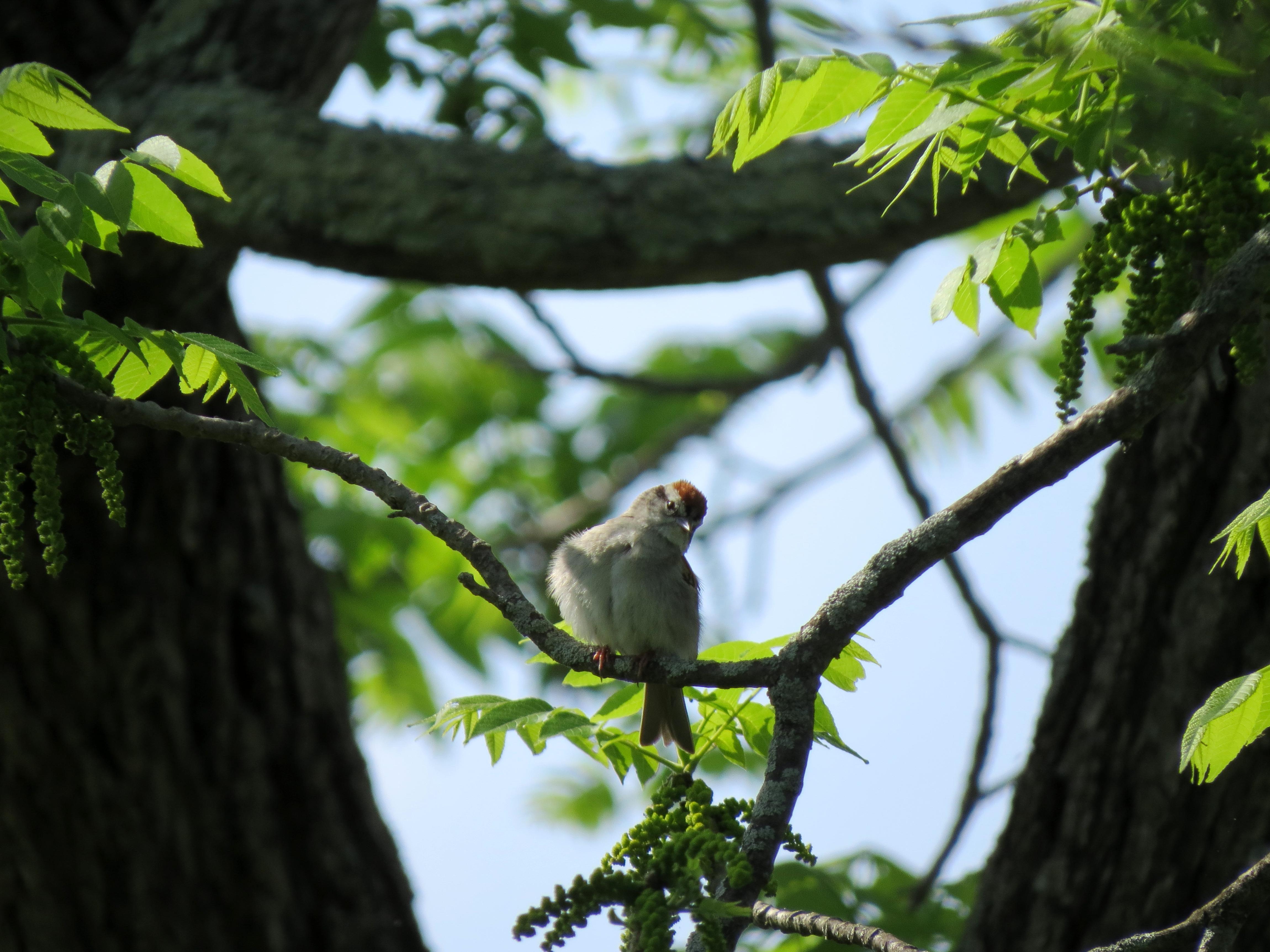 Free photograph; chipping, Sparrow, bird, tree