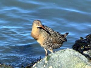 clapper, rail, oiseau, rivage