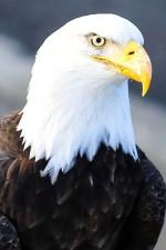 up-close, bald, eagle, head, bird