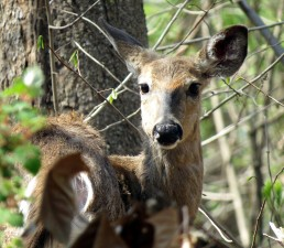 up-close, white tailed, deer, roe, wooded, area