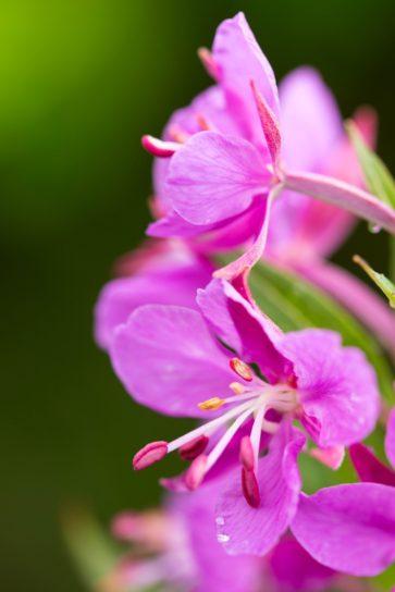 πολύχρωμο, ροζ, fireweed, φυτό, άνθιση
