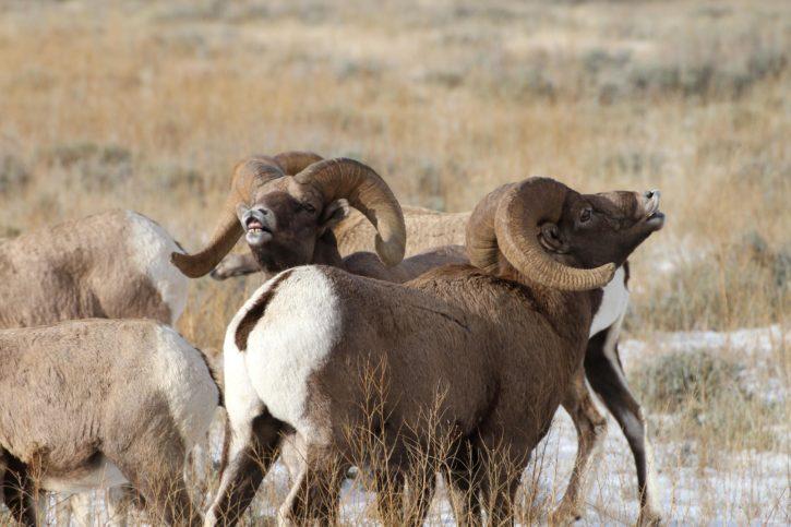 courting, Bighorn, sheep, style, male, bighorn, sheep, exhibit, flehmen, response