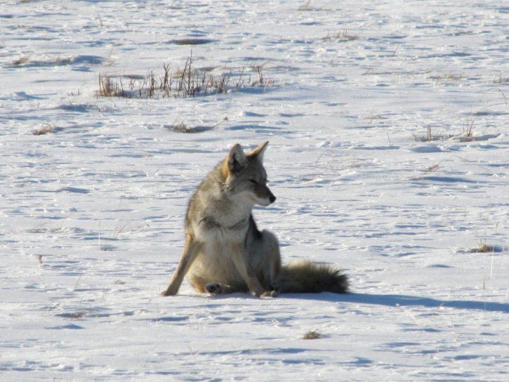 coyote, takes, break, hunting, sunny, winter, morning