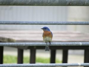 con chim màu xanh, màu sắc, động vật