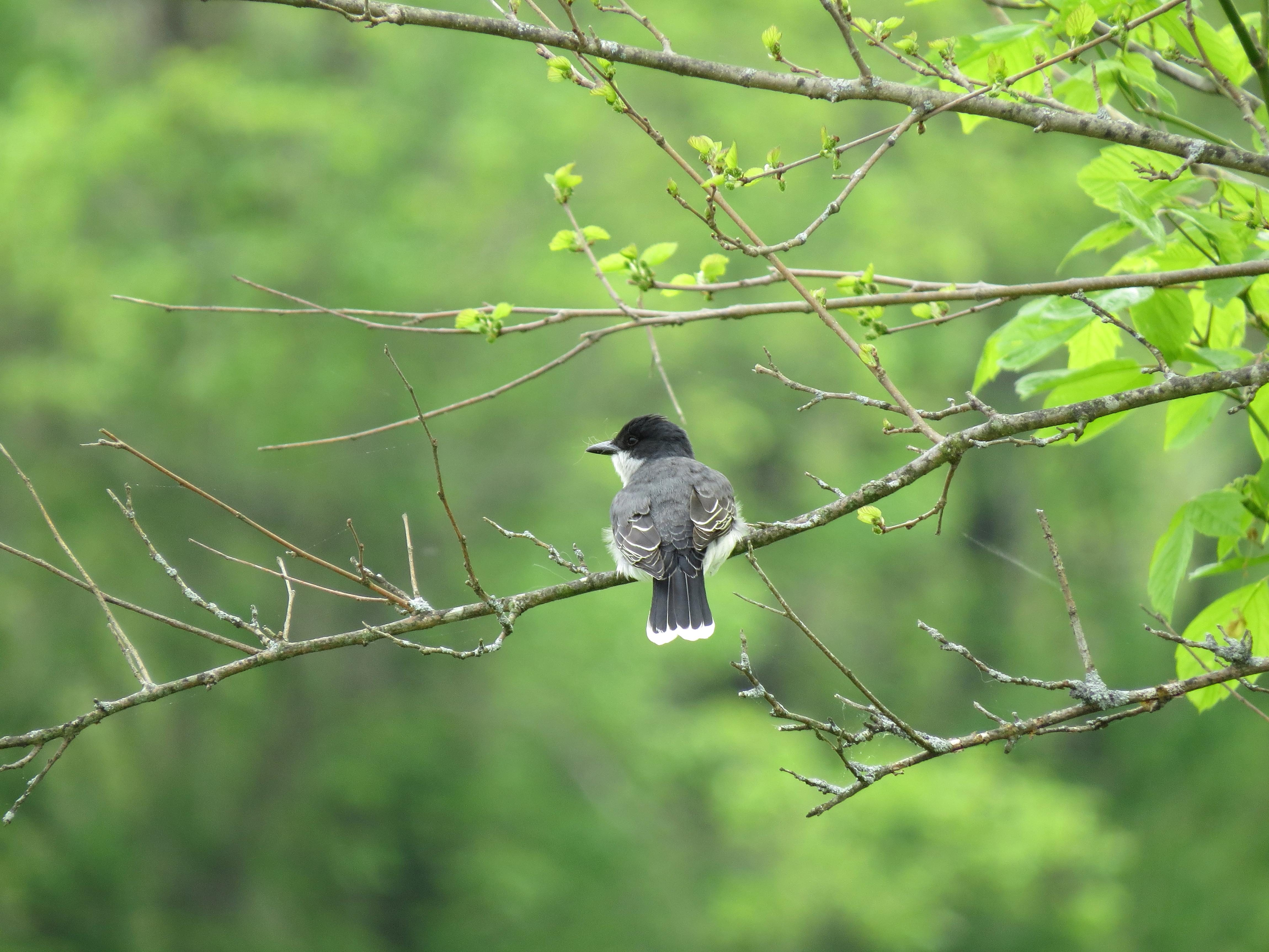 Free photograph; eastern, Kingbird, bird, perched, tree, branch