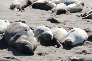 elephant sea lions, beach, sand, marine mammals, animals