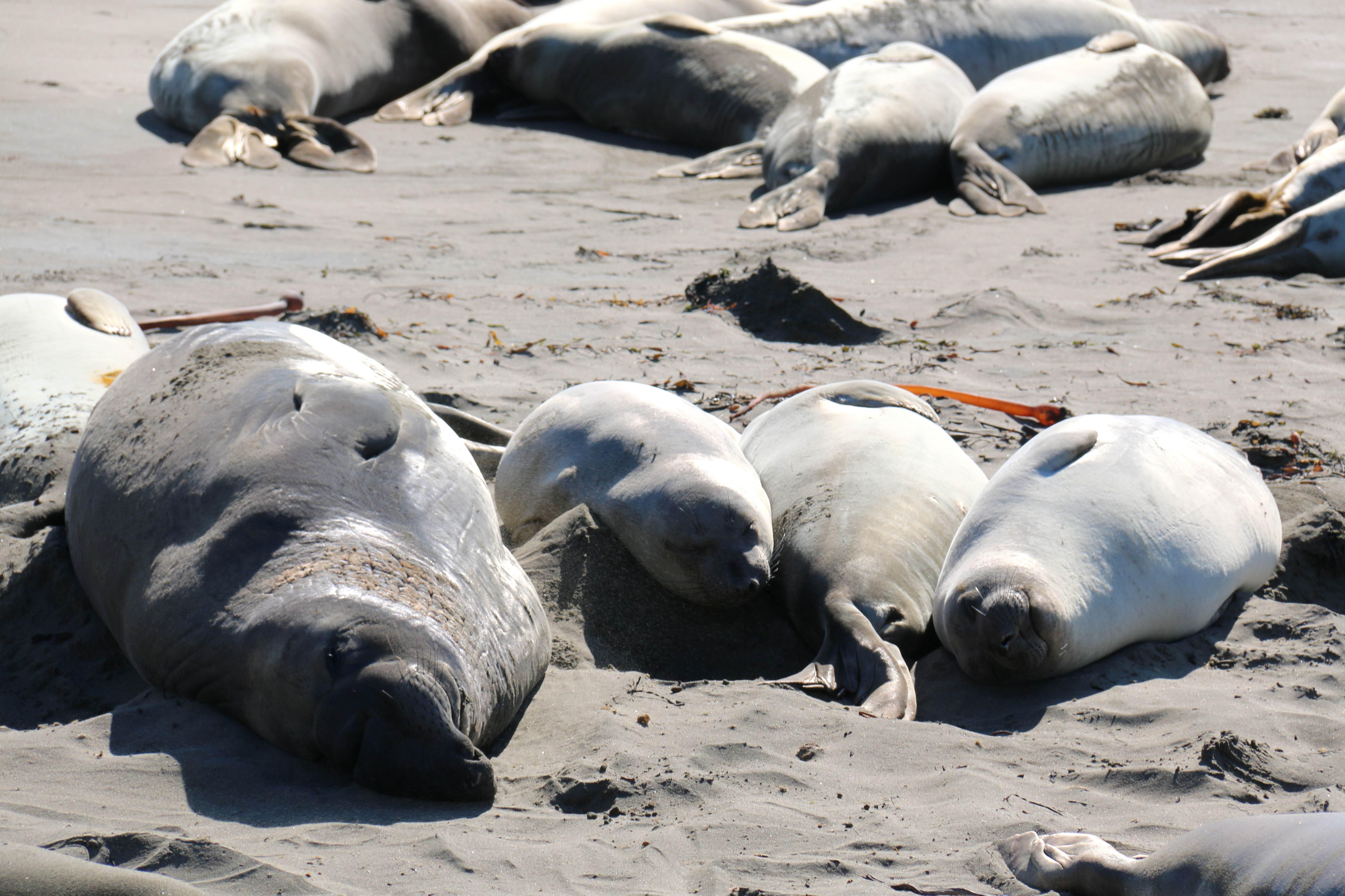 Free photograph; elephant, seals, beach, sand, marine, mammals, animals