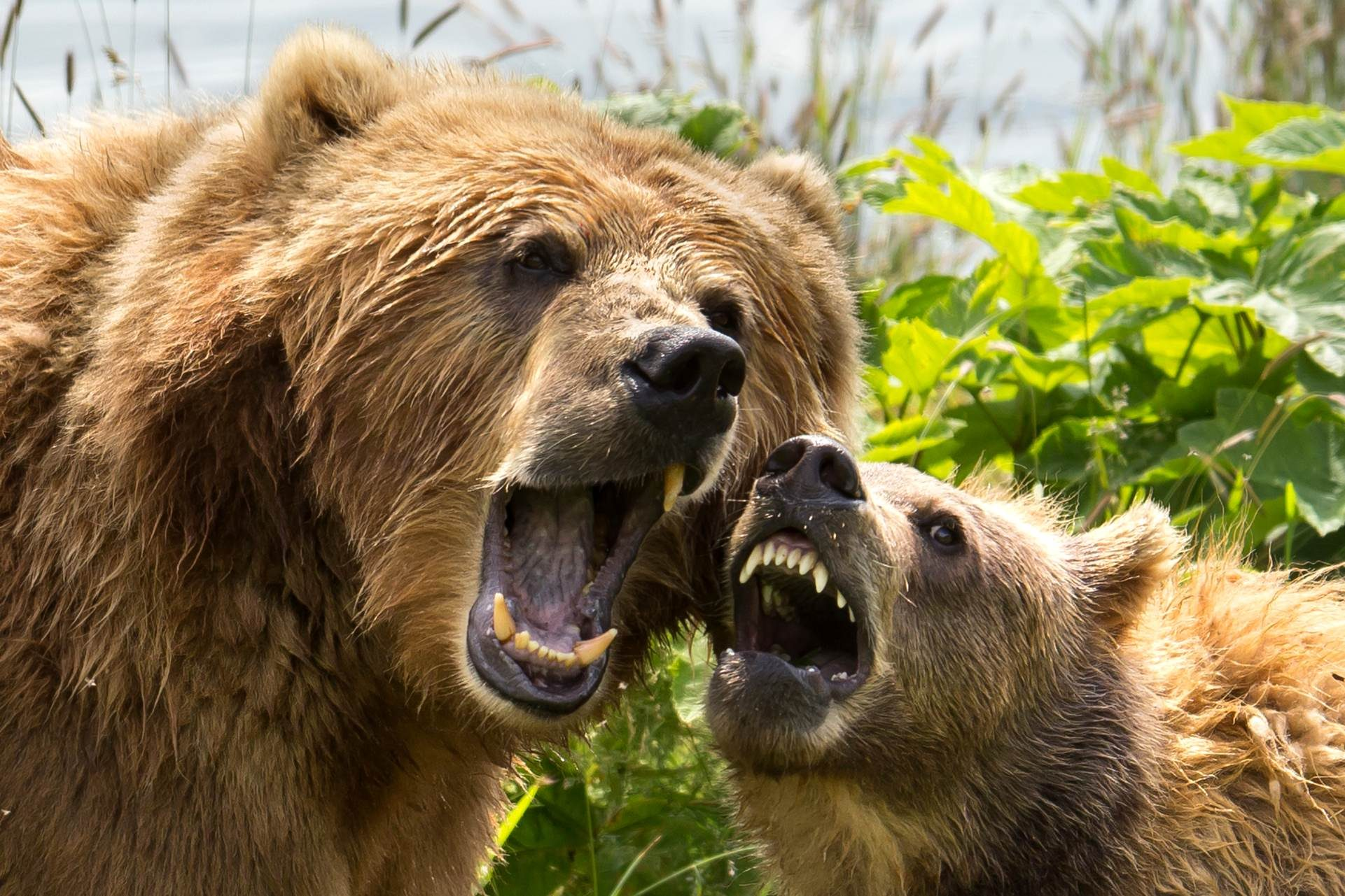 Free photograph; face, teeths, brown, bear, sow, cub, playing