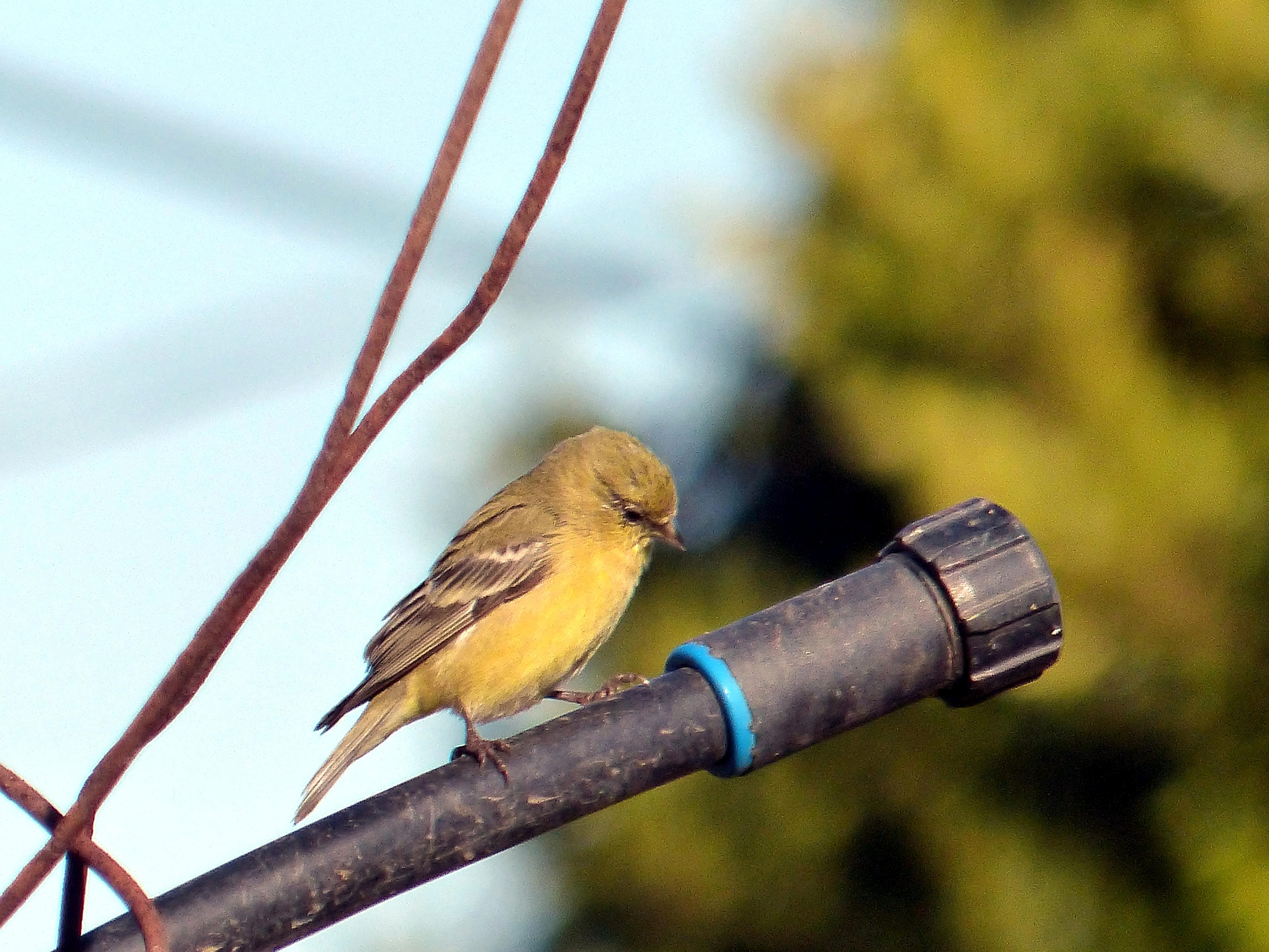 Free photograph; female, American, goldfinch, bird, resting, pipe