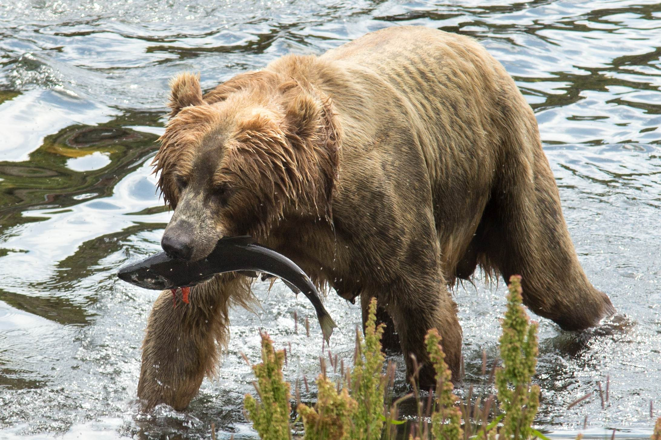 Free photograph; female, brown, bear, sow, fresh, fish, catch