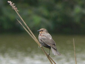 female, red, winged, blackbird, bird