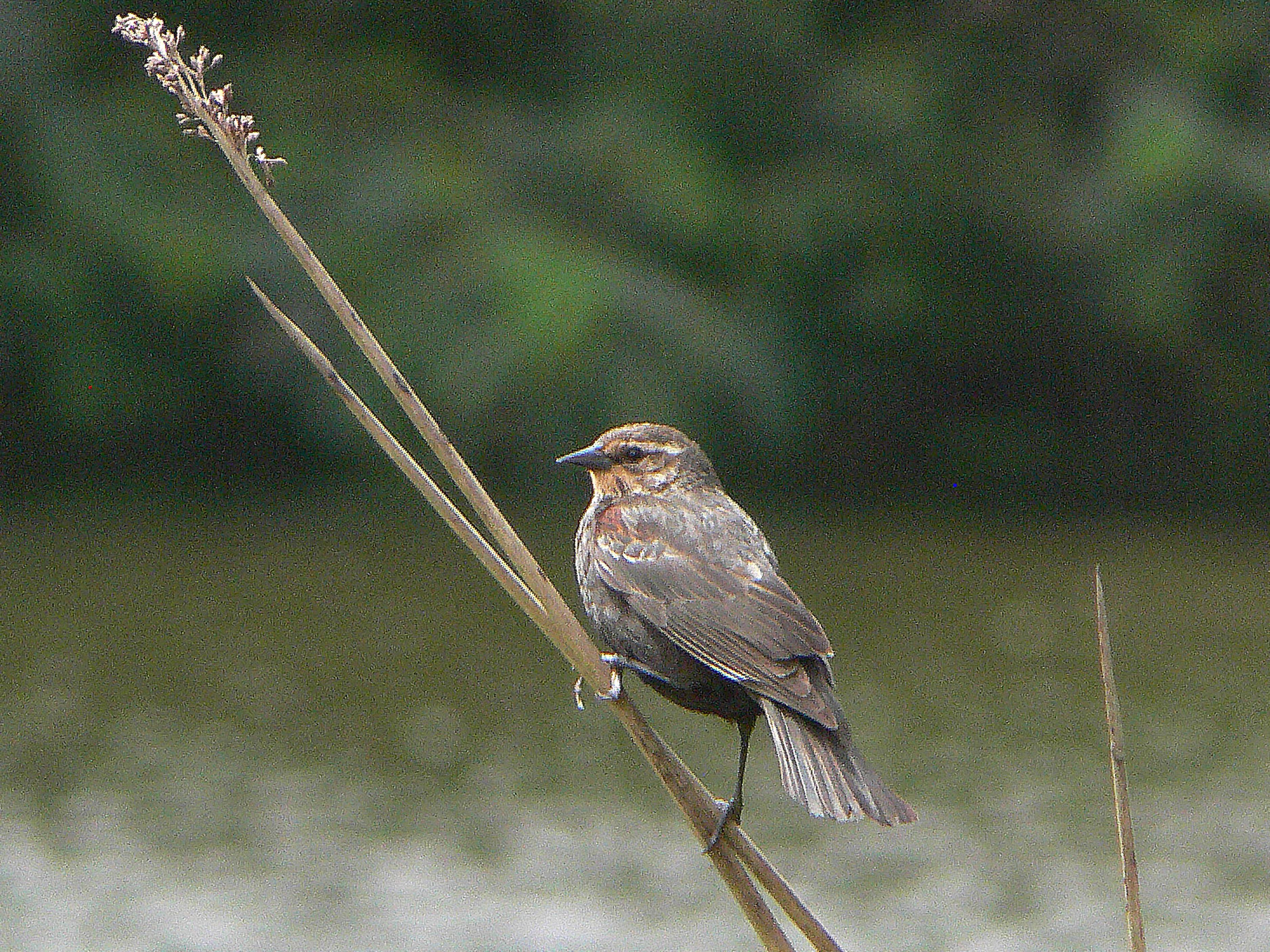Free photograph; female, red, winged, blackbird, bird
