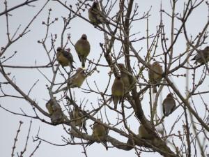 무리, 삼나무, waxwings, 새, 나무