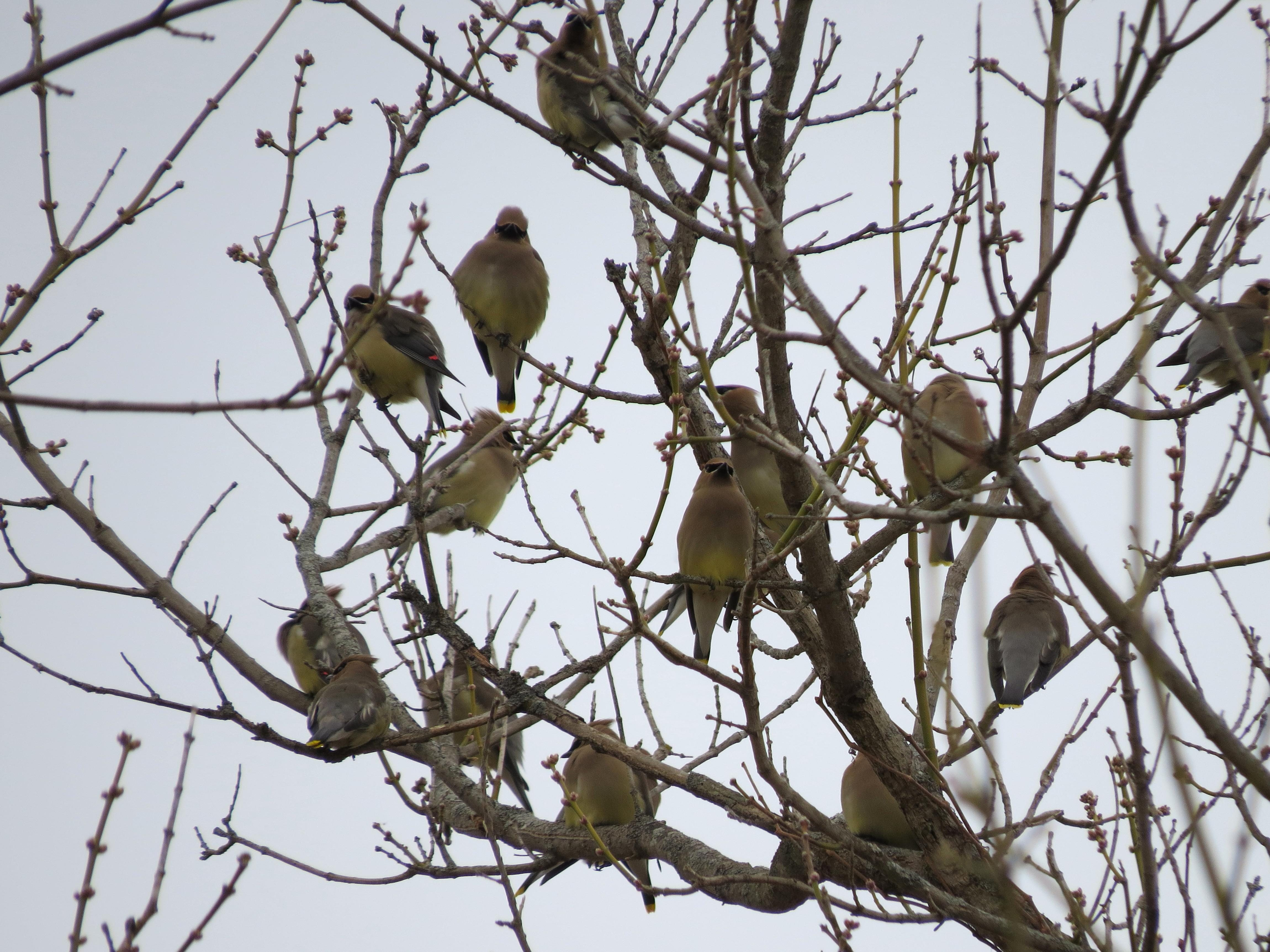 Free photograph; flock, Cedar, waxwings, bird, tree