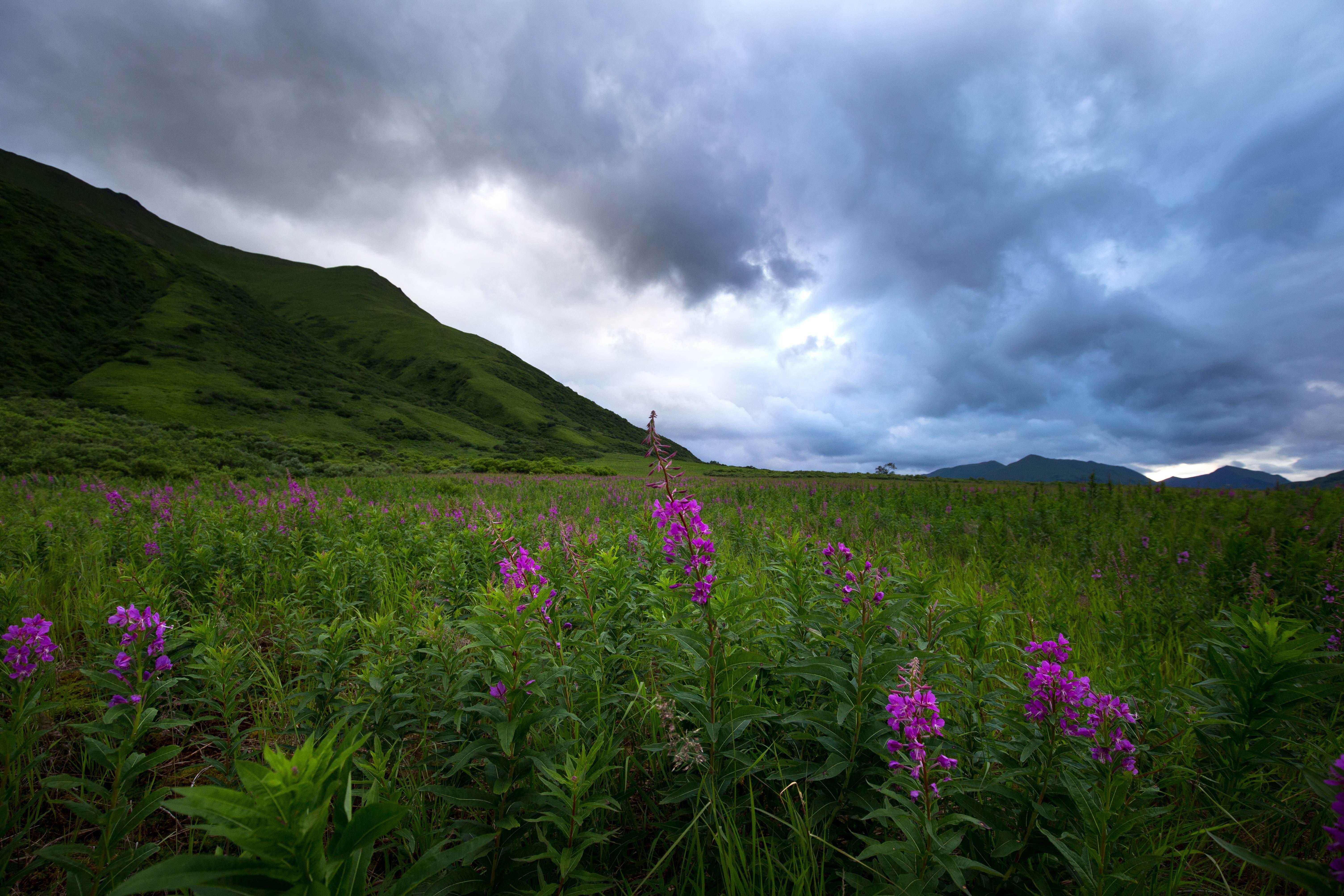 Free photograph; flowered, fireweed, field