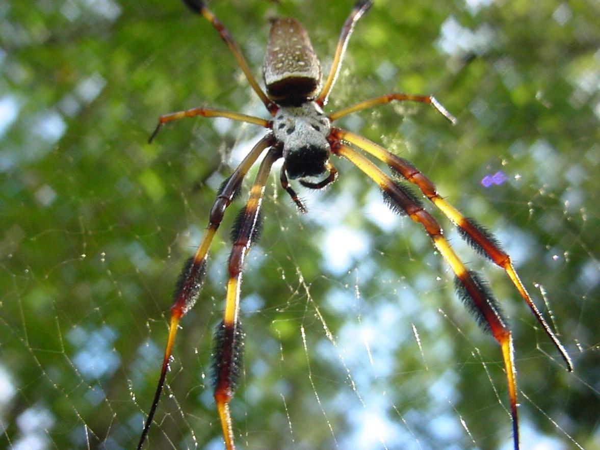 Free photograph; golden, silk, spider, web
