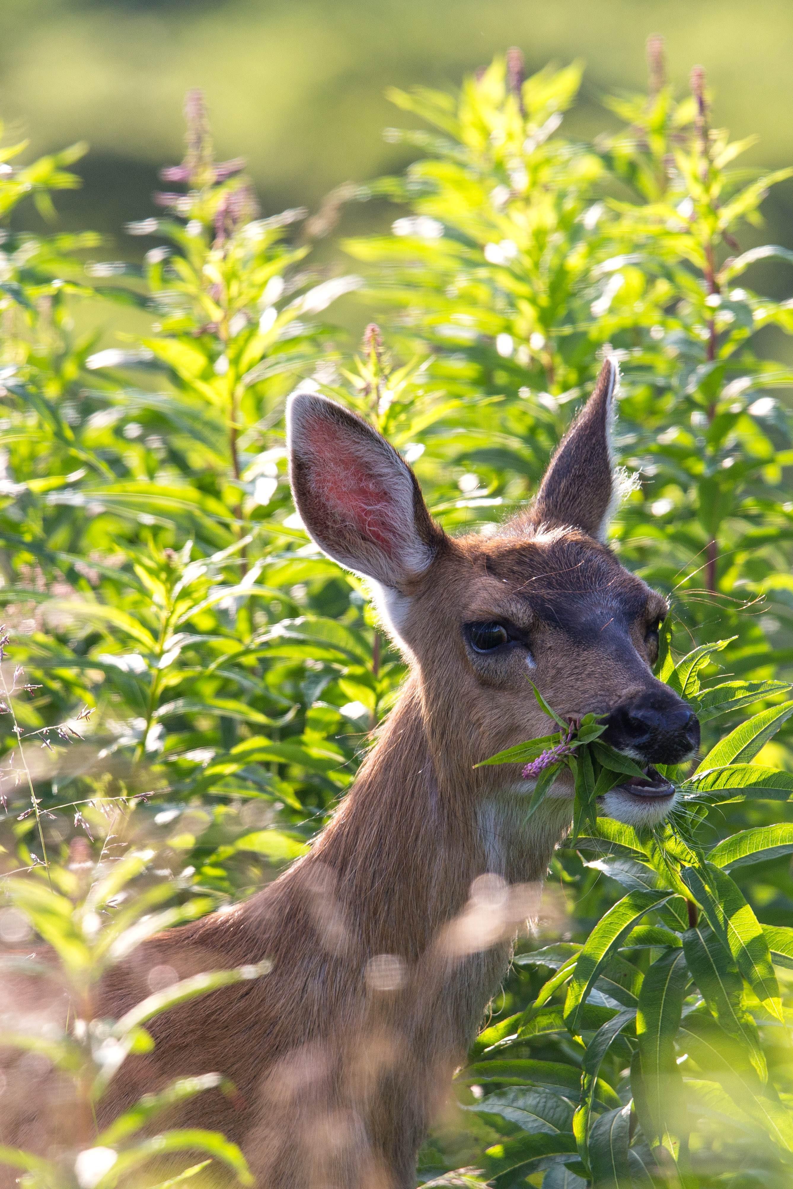 Free photograph; head, Sitka, black, tailed, roe, deer, grass, wildness, animal, mammal