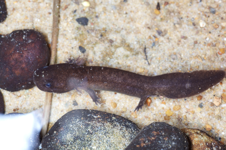 Free photograph; hellbender, large, aquatic, salamander