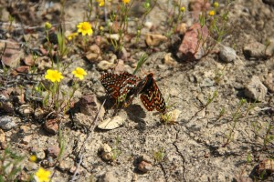 insects, Quino, Checkerspot, butterflies, bugs