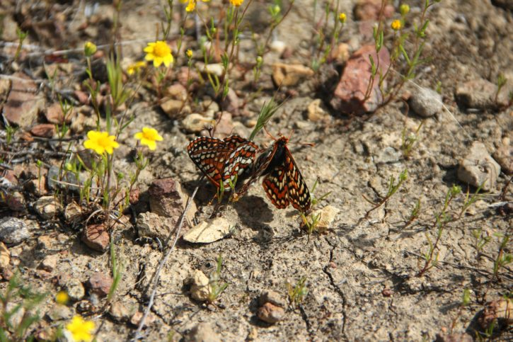 insectes, Quino, Checkerspot, papillons, insectes